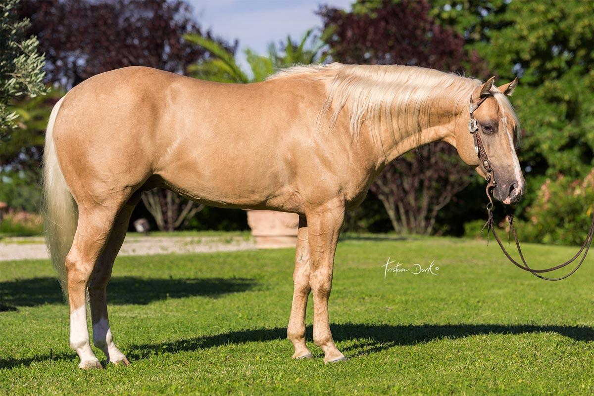 Vendita cavalli vendita cavalli quarter le betulle for Quanto costa mantenere un cavallo